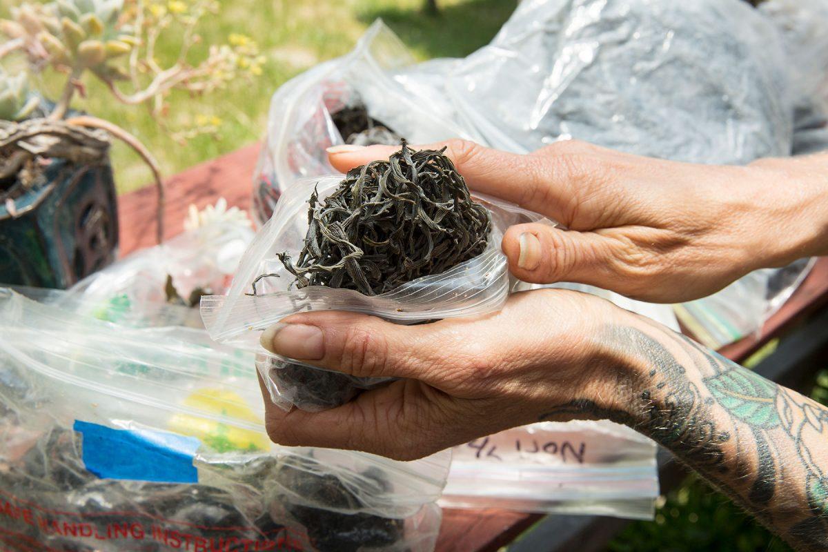 Seaweed Harvesting, Mendocino County