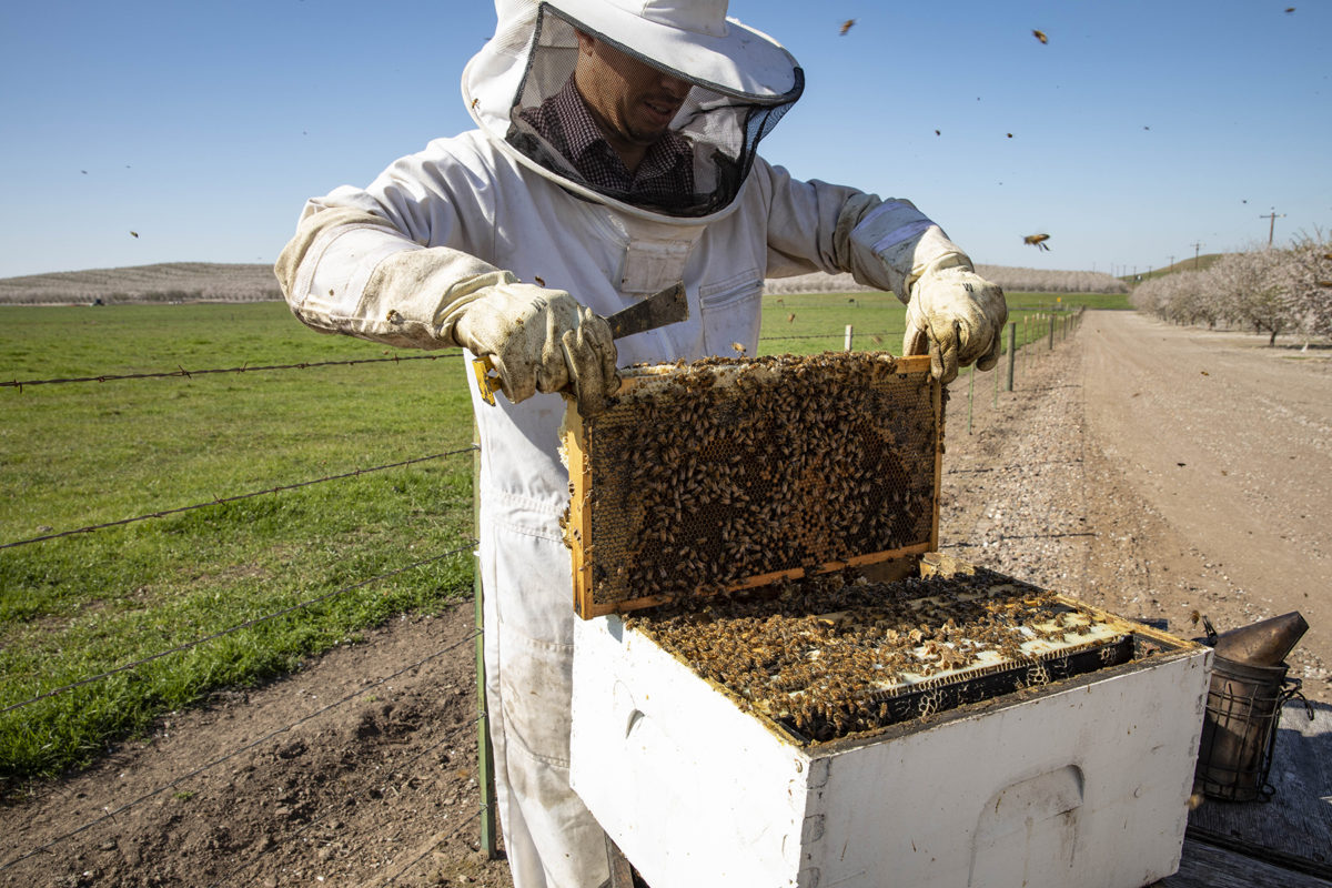 Matias Viel of BeeFlow photographed with his bees at Woolf Almond orchard in California's central Valley. Beeflow increases organically crop yields providing professionalized pollination services. With a team built by pollination and bee health scientists we can increase between 10-80% yields of more than 30 crops in Argentina. Beeflow's pollination service increases beekeeper's income as well. Bee-hives are transported and safeguarded on fields within scientific standards to avoid any health problem. Science-based solutions regarding pollination efficiency and bee health are being developed also.
